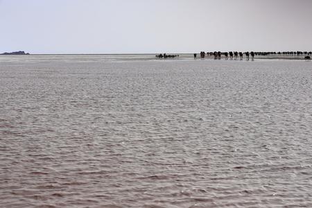 dromedaries: Afar herders lead caravans of dromedaries from Hamed Ale hamlet to Lake Assale saltern to load salt blocks and transport them to market in Berahile town through Danakil desert. Afar region-Ethiopia.