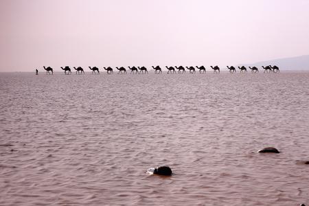 dromedaries: Afar herder leads caravans of dromedaries from Hamed Ale hamlet to Lake Assale saltern to load salt blocks and transport them to market in Berahile town through Danakil desert. Afar region-Ethiopia.