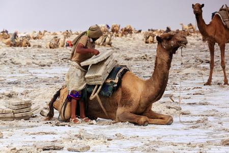 workingman: DANAKIL, ETHIOPIA-MARCH 28: Tigrayan worker loads a dromedary camel with amole-salt slabs of the ganfur-4 kg.size to transport them to Berahile market 75 kms.away on March 28, 2013. Afar region.