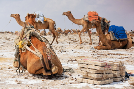 saddle camel: Some dromedaries waiting to be loaded with amole-salt slabs of the ganfur-4 kg.size to transport them to Berahile market 75 km.away. Lake Assale or Karum salt works-Danakil desert-Afar region-Ethiopia Editorial