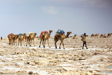 DANAKIL, ETHIOPIA-MARCH 28: Afar herder leads a dromedary caravan loaded with amole-salt slabs of the ganfur-4 kg.size to transport them to Berahile market 75 kms.away. Afar region. Editorial