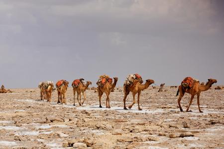 Afar herders lead caravans of dromedaries and donkeys from Hamed Ale hamlet to Lake Assale saltern-load salt blocks-transport them to market-Berahile town through Danakil desert. Afar region-Ethiopia.