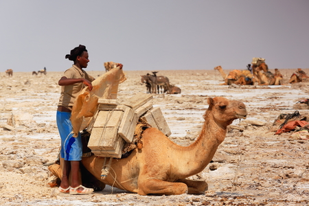 herder: DANAKIL, ETHIOPIA-MARCH 28: Afar herder loads a dromedary camel with amole-salt slabs of the ganfur-4 kg.size to transport them to Berahile market 75 kms.away on March 28, 2013. Afar region.