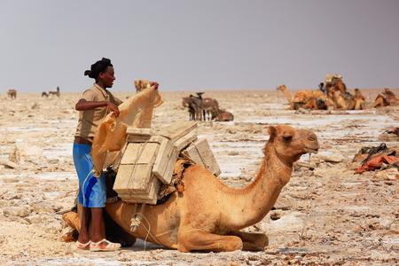 workingman: DANAKIL, ETHIOPIA-MARCH 28: Afar herder loads a dromedary camel with amole-salt slabs of the ganfur-4 kg.size to transport them to Berahile market 75 kms.away on March 28, 2013. Afar region.