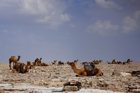 dromedaries: Dromedaries and donkeys loaded with amole-salt slabs of the ganfur-4 kg.size to transport them to Berahile market 75 km.away. Lake Assale or Karum salt works-Danakil desert-Afar region-Ethiopia