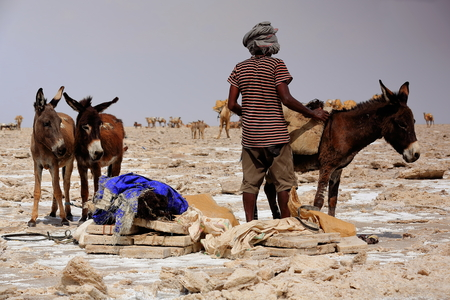 herder: DANAKIL, ETHIOPIA-MARCH 28: Tigrayan herder loads a donkey  with amole-salt slabs of the ganfur-4 kg.size to transport them to Berahile town 75 kms.across the desert on March 28, 2013. Afar region.