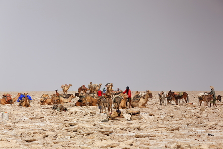 saddle camel: DANAKIL, ETHIOPIA-MARCH 28: Afar herders load dromedaries and donkeys with amole-salt slabs of the ganfur-4 kg.size to transport them to Berahile market 75 kms.away on March 28, 2013. Afar region. Editorial