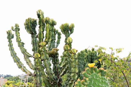 orison: Spurge-candelabrum tree or Euphorbia Candelabrum or qwoloqwal or adaamii plant-outside the ethiopian orthodox Wukro Chirkos rock-hewn tewahedo-church. Wukro town-Misraqawi zone-Tigray region-Ethiopia.