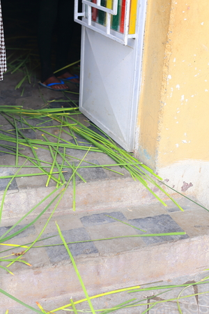 widespread: Long green grass stems widespread on the floor of the entrance to a house-grass is believed to bring prosperity. Mekele-Mekelle town and special zone in Debubawi-Southern zone. Tigray region-Ethiopia