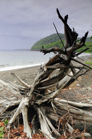 convolute: Twisted dry tree trunk swept by the tide and landed on the volcanic dark sand of the beach of the Lake Fangteng Conservation Area on the western coast of Ambrym island. Malampa province-Vanuatu.