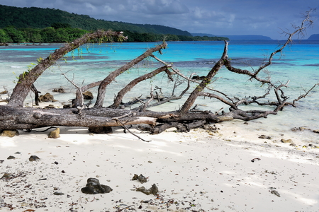 Big tree trunk with branches washed by the tide on the white sand of Lonnoc Beach facing Elephant island across the blue waters of Hog Harbour bay. Espiritu Santo island-Sanma province-Vanuatu.