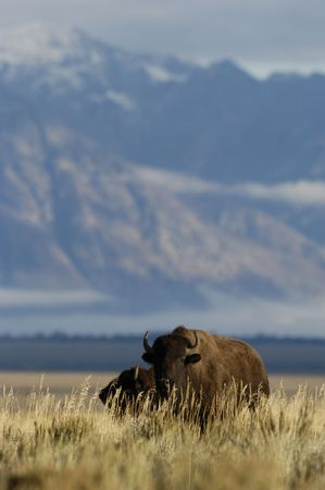 Buffalo near Jackson, wyoming
