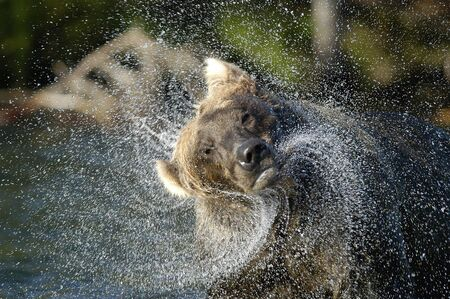 brooks camp: Brown bear shaking water from head Stock Photo