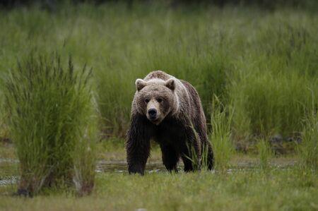 stalking: Brown bear stalking