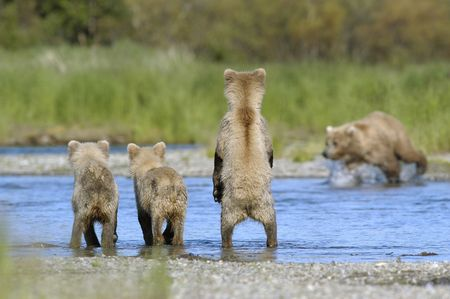 brooks camp: Brown bear cubs watching mom find salmon Stock Photo