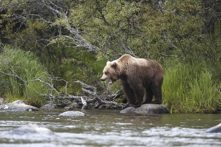 brooks camp: Brown bear standing on rock looking for salmon