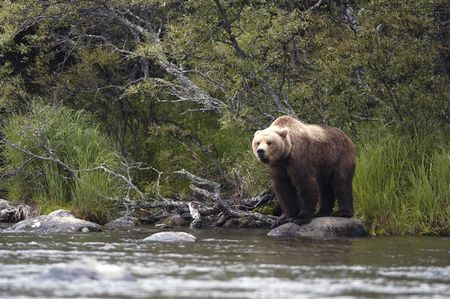 brooks camp: Brown bear standing on rock