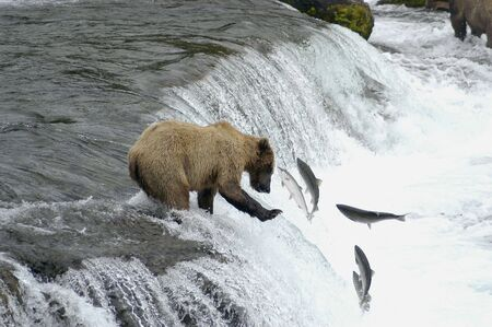 brooks camp: Brown bear trying to catch salmon