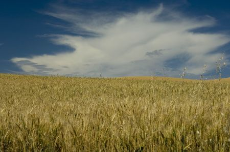 Wheat field under cloudy skies Stock Photo - 580667