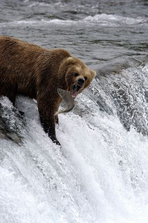 Brown bear trying to catch a salmon Stock Photo - 941275