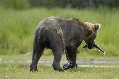 brooks camp: young brown bear walking away with a salmon Stock Photo