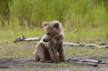 brooks camp: Young brown bear sitting on the river bank Stock Photo