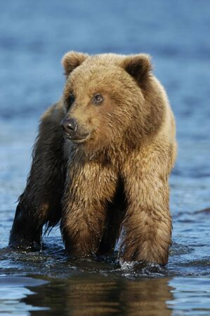 brooks camp: Young brown bear standing in the river