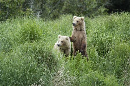 Two brown bear cubs standing in the grass photo