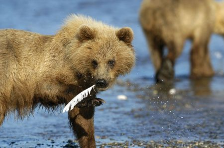 Brown bear cub standing in the river Stock Photo