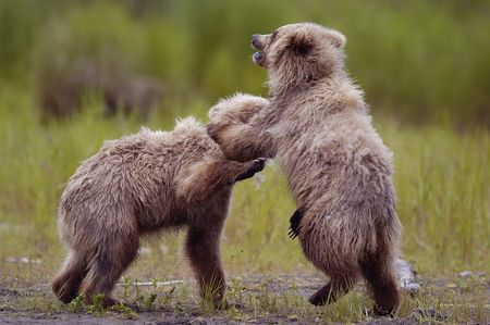 brooks camp: Two brown bear cubs playing
