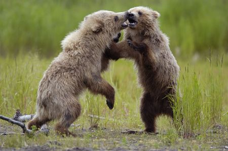Two brown bear cubs playing photo