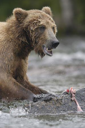 Brown bear eating salmon