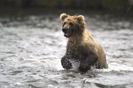 brooks camp: Brown bear running in the river Stock Photo