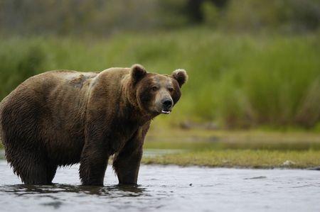 Brown bear standing in Brook River