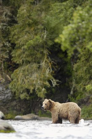 brooks camp: Brown bear standing in Brook River