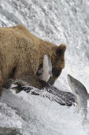 Brown bear trying to catch a salmon photo