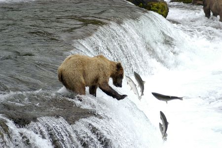 brown bear: Brown bear trying to catch a salmon                            Stock Photo