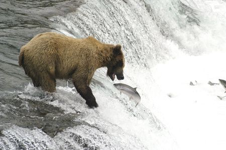 Brown bear trying to catch a salmon Stock Photo - 941407