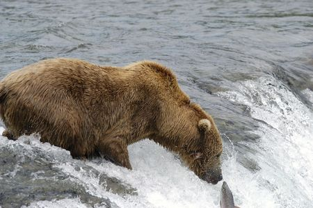 brooks camp: Brown bear trying to catch a salmon Stock Photo
