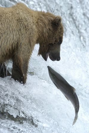 salmon falls: Brown bear trying to catch a salmon Stock Photo