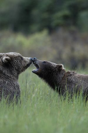 brooks camp: Two brown bears playing