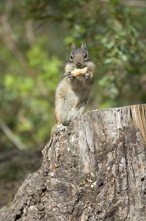 Chip monk eating a peanut