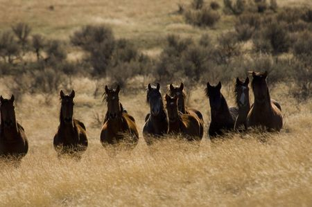 rebellion: Wild horses standing in the golden grass