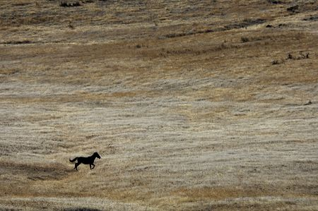 untitled key: Single wild horse running across the praire