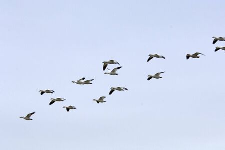 untitled key: Snow geese flying in formation