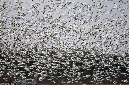 untitled key: Thousands of snow geese flying