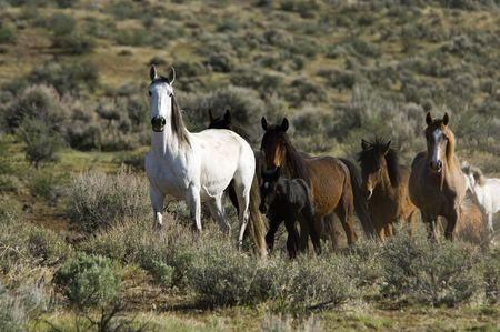 sagebrush: Wild horses standing in the sage brush