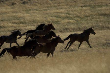 sagebrush: Wild horses running away