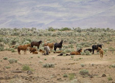 sagebrush: Wold horses out on the open praire Stock Photo