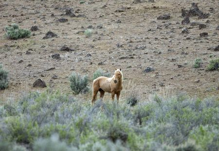 sagebrush: Single wild horse standing out in the sage brush
